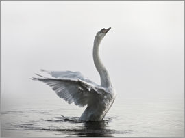 Alex Saberi - Swan on lake