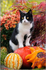 Katho Menden - Tuxedo cat on colourful pumkins in a garden