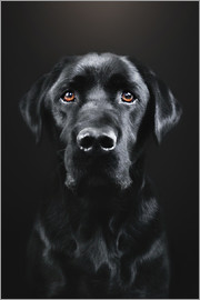 Gabi Stickler - Black Labrador Portrait