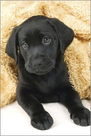 Greg Cuddiford - Black Labrador