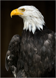 Frank Fischbach - Bald Eagle Portrait