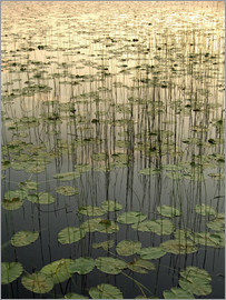Gina Bringman - Water lilies on the Deadman Lake