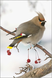 Doug Lindstrand - Waxwing on Rowan branch