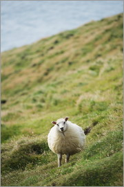 Christian Kober - Sheep, Heimaey Island, Vestmannaeyjar, volcanic Westman Islands, Iceland, Polar Regions