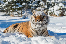 Janette Hill - Siberian Tiger (Panthera tigris altaica), Montana, United States of America, North America