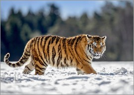 imageBROKER - Siberian tiger in deep snow