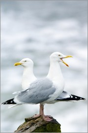 Duncan Shaw - Two Herring Gulls