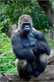 imageBROKER - silverback sitting on tree trunk