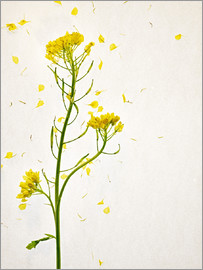Axel Killian - Sinapis alba, flower head, yellow