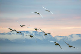Whooper swans flying at sunset