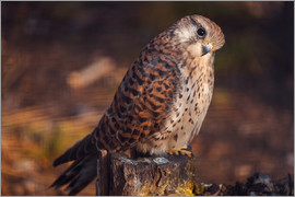 Sitting kestrel