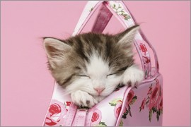 Greg Cuddiford - Sleeping kitten in pink handbag