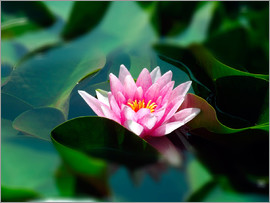 blackpool - Summer water lily IV