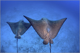 Ethan Daniels - Spotted eagle rays swim over the seafloor near Cocos Island, Costa Rica.