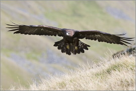 Ann & Steve Toon - Golden eagle, Aquila chrysaetos, flying over moorland, captive, UK