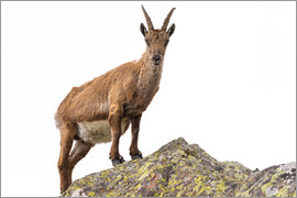 Fabio Lamanna - Ibex perched on rock isolated on white background