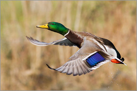 Ken Archer - Mallard Drake Taking Flight