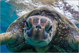 Michael Nolan - Green sea turtle