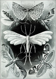 Ernst Haeckel - Chart of moths