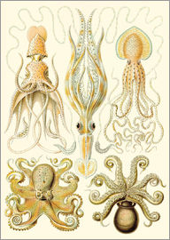Ernst Haeckel - Squid and octopi