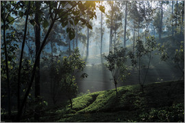 Paul Kennedy - Tea plantation forest Sri Lanka