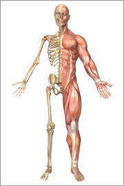 Stocktrek Images - The human skeleton and muscular system, front view.