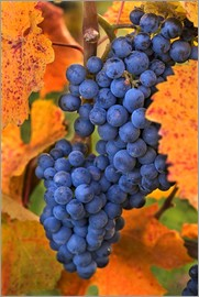 Janis Miglavs - Grapes with autumn leaves
