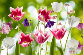 Tulips and columbine flowers