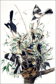 John James Audubon - Mocking Bird (Turdus Polyglottus)