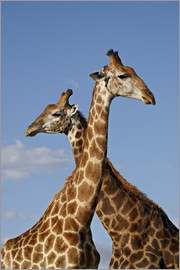 James Hager - Two male Cape giraffe (Giraffa camelopardalis giraffa), Imfolozi Game Reserve, South Africa, Africa