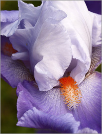 Ann Collins - USA, California, San Diego, Bearded iris
