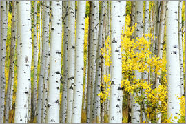 Rob Tilley - USA, Colorado, White River National Forest, Aspen Grove