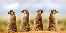 Gérard Lacz - Four meerkats - four thoughts