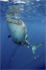 Pete Oxford - Whale shark