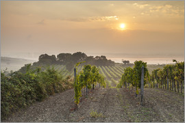 Gerhard Wild - Vineyards in the morning light, Lower Austria