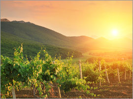 Vineyards in Sunset