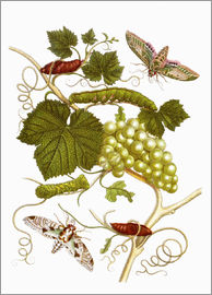 Maria Sibylla Merian - Vine and moths