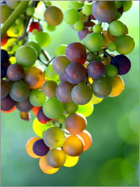 GUGIGEI - wine grapes
