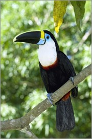 Tony Camacho - White-throated toucan