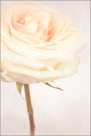 INA FineArt - WHITE WEDDING ROSE