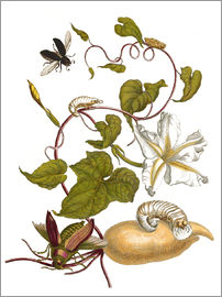 Maria Sibylla Merian - white potato with lepidoptera metamorphosis
