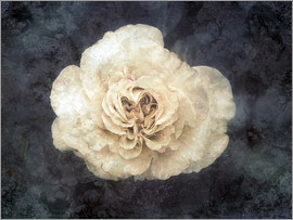 Alaya Gadeh - White rose superimposed with floral texture