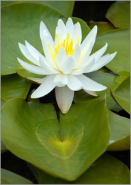 GUGIGEI - white water lily