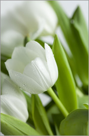 Nailia Schwarz - White Tulips 02