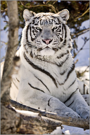 Chad Coombs - White Bengal Tiger
