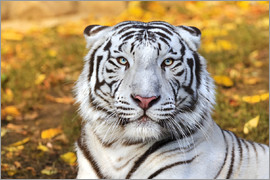 White Tiger in closeup