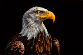 Bettina Dittmann -  bald eagles