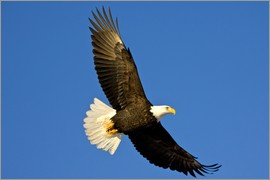 David Northcott - Bald Eagle in Flight