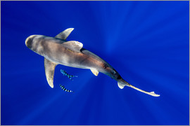 Cultura/Seb Oliver - Oceanic Whitetip Shark with pilot fish around it