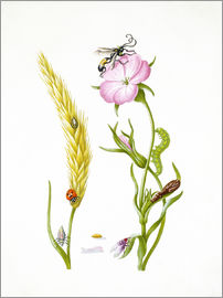 Maria Sibylla Merian - Wheat & Corncockle
